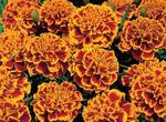 Tagetes patula Hero Flame 300 seeds