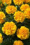 Tagetes patula Hero Gold 300 seeds