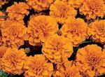 Tagetes patula Hero Orange 300 seeds