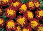 Tagetes patula Hero Spry 300 seeds