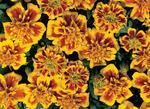 Tagetes patula Hero Bee 300 seeds