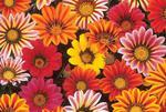 Gazania New Day Mix F1 200s