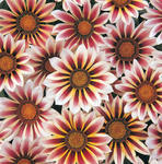 Gazania New Day Rose Stripe F1 200s