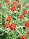 Gomphrena haageana Carmine 250 seeds