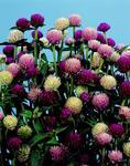 Gomphrena globosa Choice Mixed 1g