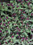 Gomphrena globosa Buddy Purpur 500 seeds