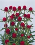 Gomphrena haageana Scarlet Red 250 seeds