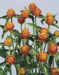 Gomphrena haageana Orange 250 seeds