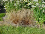 Carex Bronco 200 seeds