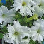 Petunia hybrida Krajkový závoj 1/16g