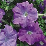 Petunia hybrida Naděje F1 0,25g