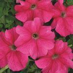 Petunia hybrida Přátelství F1 1/16g