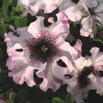 Petunia superbisima Alba 1/16g