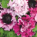 Petunia superbissima Černý´s triumf 1/16g
