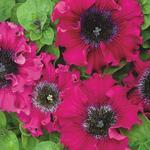 Petunia superbissima Wine Red 1/16g