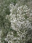 Gypsophila paniculata Snowflake 1g