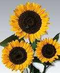 Helianthus annuus Golden For Cutting 300 seeds