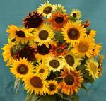 Helianthus annuus Multi-coloured Mix 10g