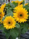 Helianthus annuus Sunrich Gold F1 200 seeds