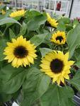 Helianthus annuus Sunrich Lemon F1 200s