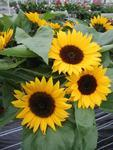 Helianthus annuus Sunrich Orange F1 200 seeds