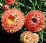 Helichrysum bract.Monstrosum Salmon Pink 2g