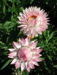 Helichrysum bract.Monstrosum Silver Pink 2g