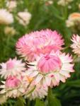 Helichrysum bract.Monstrosum Pink Shades 2g