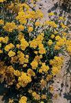 Helipterum humboldianum 1g