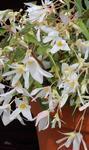 Begonia b.Copacabana White F1 250 pellets