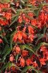 Begonia b.Copacabana Orange F1 250 pellets