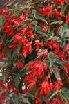 Begonia b.Copacabana Red F1 250 pellets