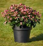 Begonia i.Sensation Pink Green Leaf F1 250 pellets