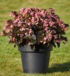 Begonia i.Sensation Pink Bronze Leaf F1 50 pelet