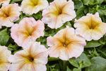 Petunia hybrida Ingrid 1/16g