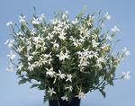 Isotoma petraea White Star 250 pelet