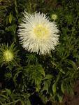 Callistephus chinensis Octavia 2g