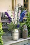 Delphinium Pacific Giants Round Table 1g