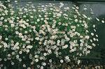 Erigeron  Profusion 1000 seeds