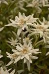 Leontopodium alpinum Edelweiss 0,25g