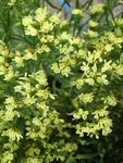 Limonium Qis Yellow 2g