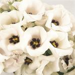 Eustoma gr. Florida Silver F1 200 pellets