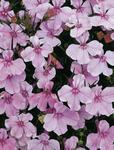 Lobelia erinus Riviera Lilac 0,5g