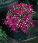 Lobelia erinus Riviera Rose 0,5g