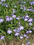 Lobelia erinus pendula Cascade Blue 0,5g
