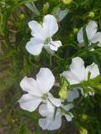 Lobelia erinus pendula Cascade White 0,5g