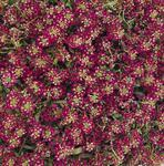 Lobularia m. Easter Bonnet Deep Rose 1g