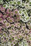 Lobularia m. Easter Bonnet Mix 1g