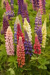 Lupinus p.Russell Mix 5g