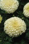 Tagetes erecta Vanilla 200 seeds